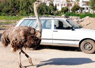 Bodrum yollarında deve kuşu şaşkınlığı
