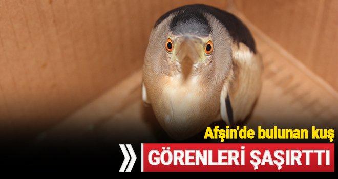 Afşin'de bulunan Hint Balıkçıl Kuşu görenleri hayran bıraktı!