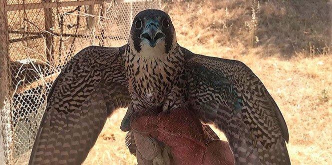 Yaralı Gökdoğan Kuşu Tedavisinin Ardından Doğaya Salındı