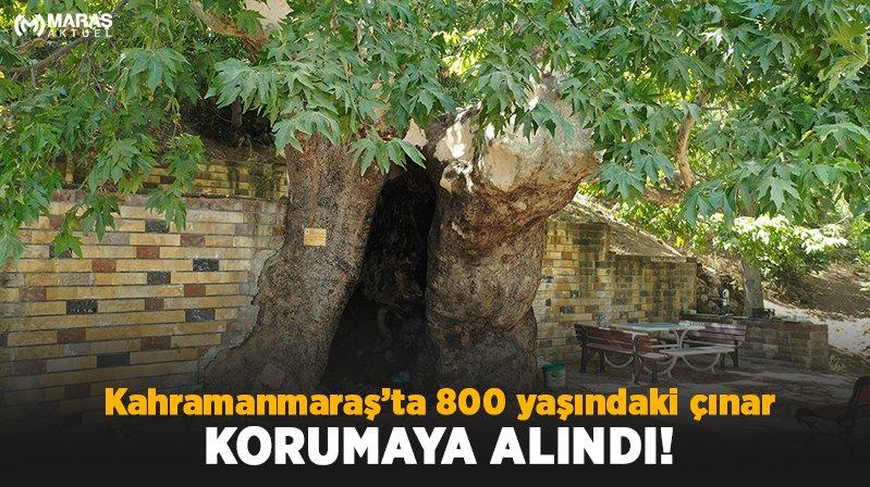 812 Yıllık Çınar'a Büyükşehir Koruması