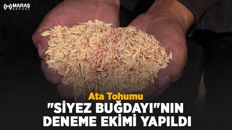 """Ata Tohumu """"Siyez Buğdayı""""nın Deneme Ekimi Yapıldı"""